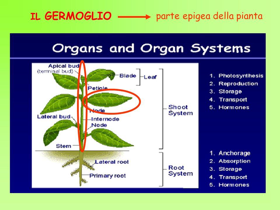 IL GERMOGLIO parte epigea della pianta