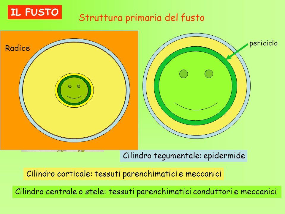 Struttura primaria del fusto Cilindro tegumentale: epidermide Cilindro corticale: tessuti parenchimatici e meccanici Cilindro centrale o stele: tessut