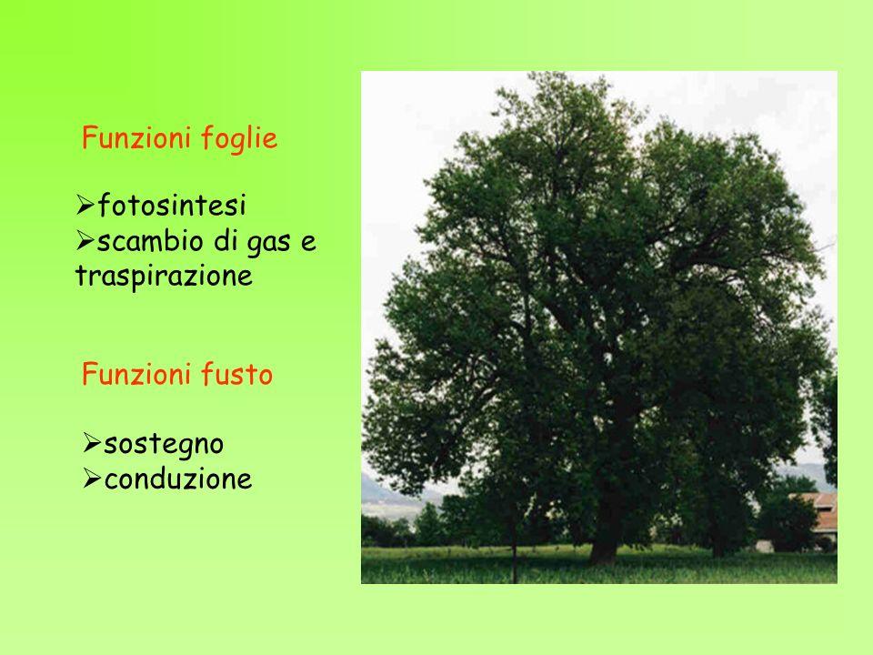 Funzioni fusto Funzioni foglie sostegno conduzione fotosintesi scambio di gas e traspirazione
