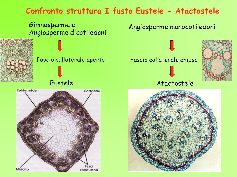 Confronto struttura I fusto Eustele - Atactostele Eustele Atactostele Fascio collaterale aperto Fascio collaterale chiuso Gimnosperme e Angiosperme di