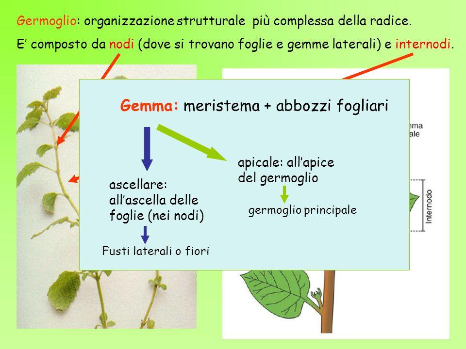 Germoglio: organizzazione strutturale più complessa della radice. E composto da nodi (dove si trovano foglie e gemme laterali) e internodi. Gemma: mer