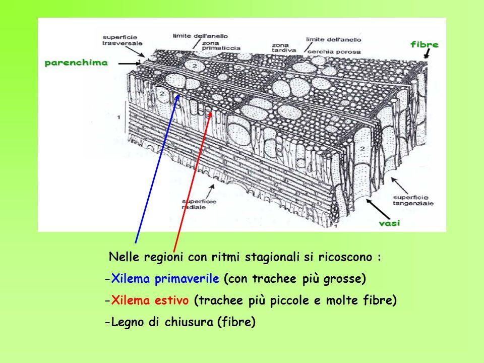 Nelle regioni con ritmi stagionali si ricoscono : -Xilema primaverile (con trachee più grosse) -Xilema estivo (trachee più piccole e molte fibre) -Leg