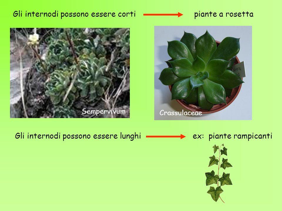 Crassulaceae Gli internodi possono essere corti piante a rosetta Sempervivum Gli internodi possono essere lunghi ex: piante rampicanti