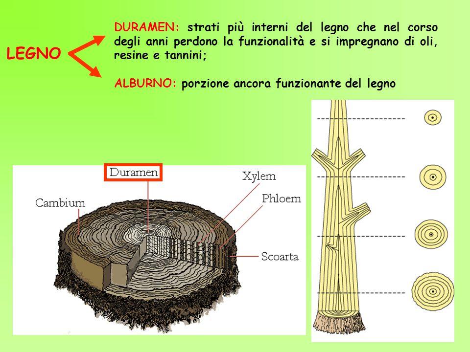 DURAMEN: strati più interni del legno che nel corso degli anni perdono la funzionalità e si impregnano di oli, resine e tannini; ALBURNO: porzione anc