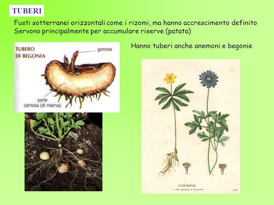TUBERI Hanno tuberi anche anemoni e begonie Fusti sotterranei orizzontali come i rizomi, ma hanno accrescimento definito Servono principalmente per ac