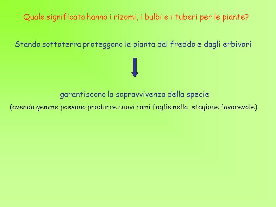 Quale significato hanno i rizomi, i bulbi e i tuberi per le piante? Stando sottoterra proteggono la pianta dal freddo e dagli erbivori garantiscono la