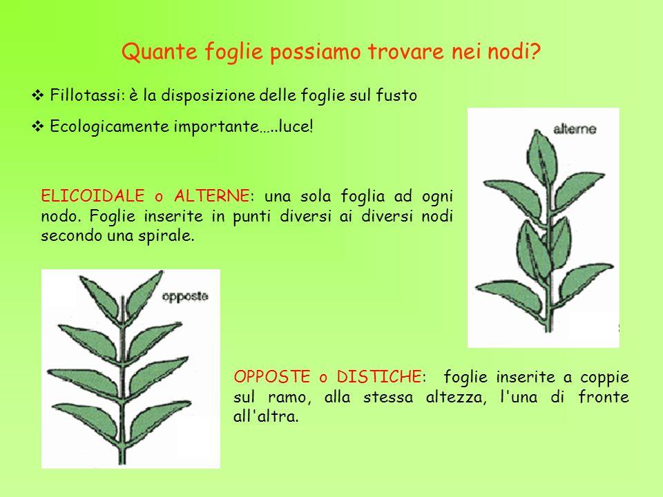 Quante foglie possiamo trovare nei nodi? Fillotassi: è la disposizione delle foglie sul fusto ELICOIDALE o ALTERNE: una sola foglia ad ogni nodo. Fogl