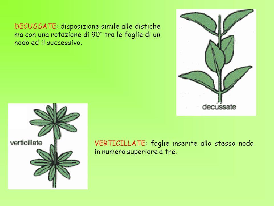 DECUSSATE: disposizione simile alle distiche ma con una rotazione di 90° tra le foglie di un nodo ed il successivo. VERTICILLATE: foglie inserite allo