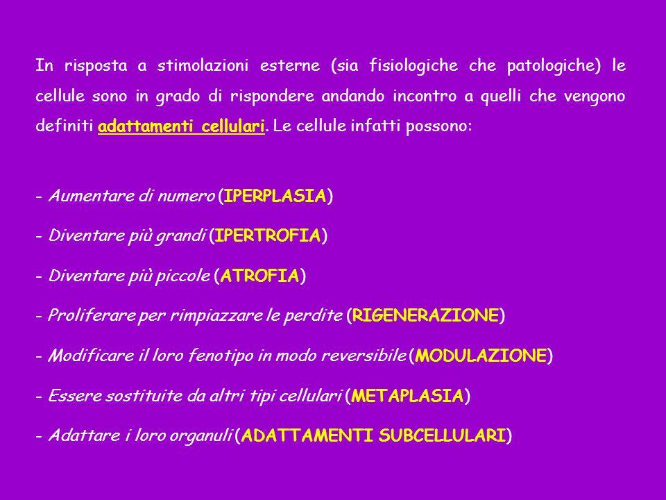 IPERTROFIA: aumento delle dimensioni delle cellule (con un conseguente aumento delle dimensioni dellorgano).