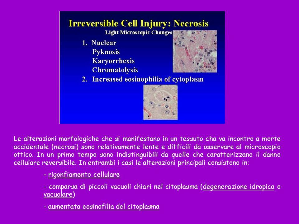 Le alterazioni morfologiche che si manifestano in un tessuto cha va incontro a morte accidentale (necrosi) sono relativamente lente e difficili da oss