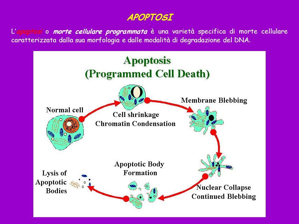 APOPTOSI Lapoptosi o morte cellulare programmata è una varietà specifica di morte cellulare caratterizzata dalla sua morfologia e dalle modalità di de