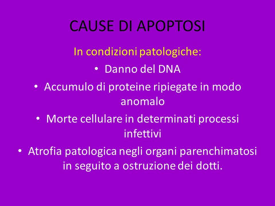 CAUSE DI APOPTOSI In condizioni patologiche: Danno del DNA Accumulo di proteine ripiegate in modo anomalo Morte cellulare in determinati processi infe