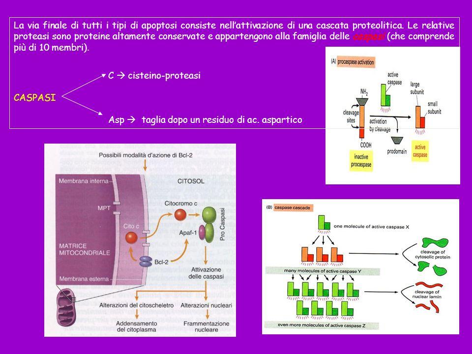 La via finale di tutti i tipi di apoptosi consiste nellattivazione di una cascata proteolitica. Le relative proteasi sono proteine altamente conservat