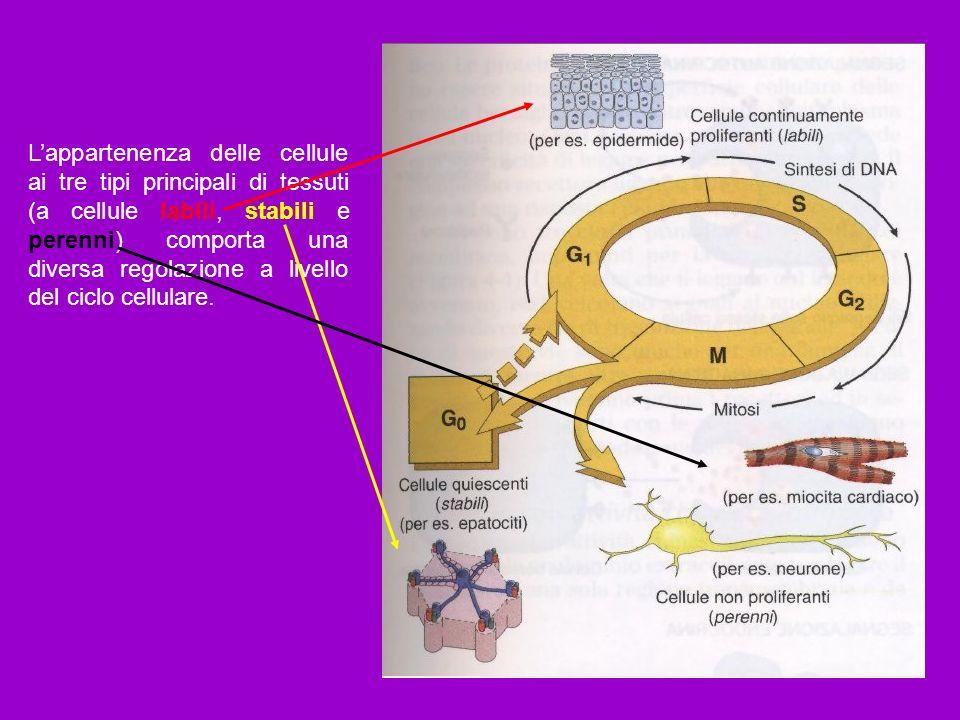 Lappartenenza delle cellule ai tre tipi principali di tessuti (a cellule labili, stabili e perenni) comporta una diversa regolazione a livello del cic