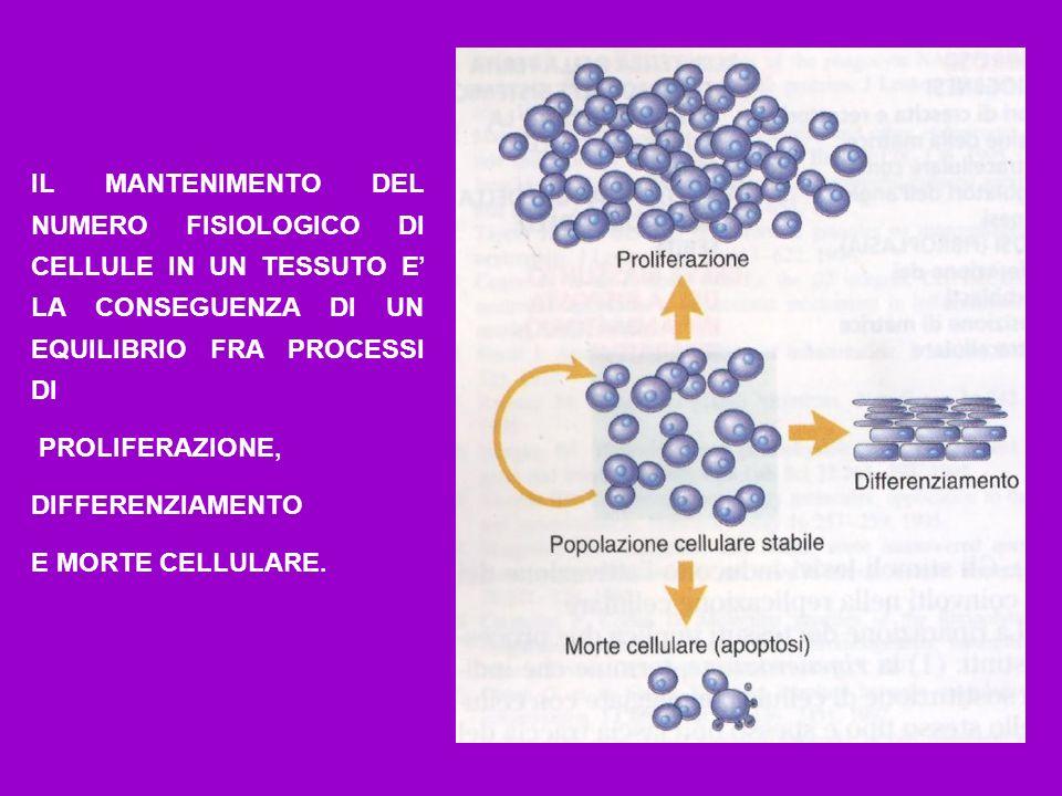 I FATTORI DI CRESCITA SONO IN GRADO DI CONTROLLARE LA PROGRESSIONE DELLE CELLULE LUNGO LE DIVERSE FASI DEL CICLO CELLULARE.