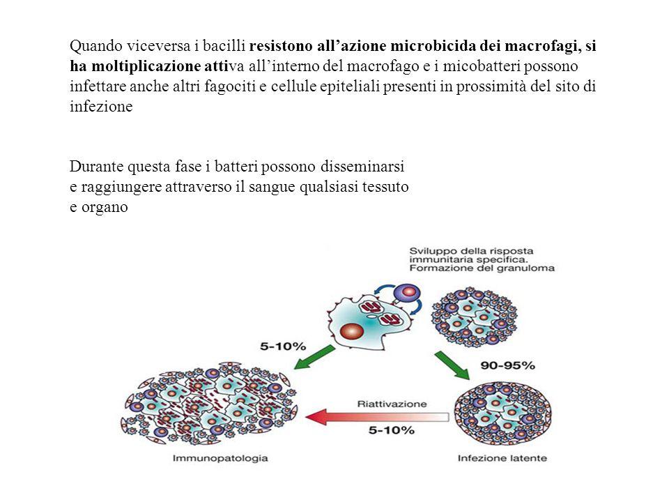 Quando viceversa i bacilli resistono allazione microbicida dei macrofagi, si ha moltiplicazione attiva allinterno del macrofago e i micobatteri posson