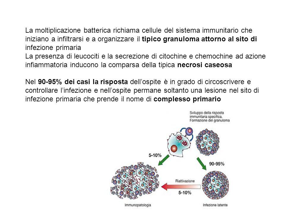 La moltiplicazione batterica richiama cellule del sistema immunitario che iniziano a infiltrarsi e a organizzare il tipico granuloma attorno al sito d