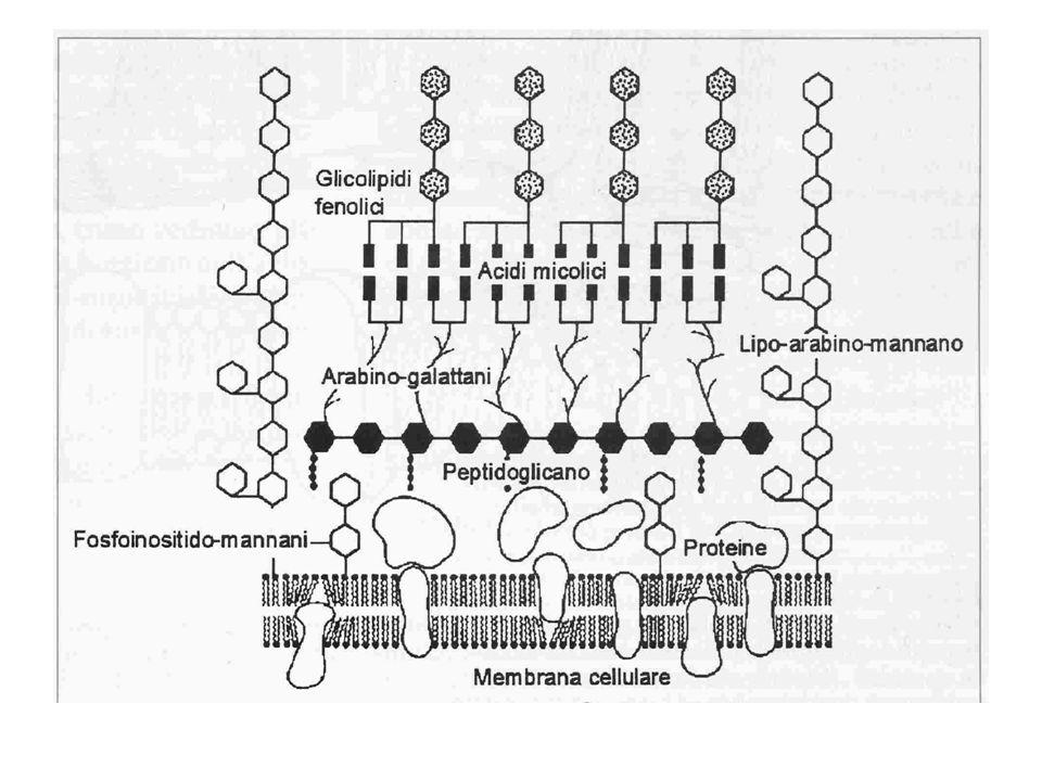 Quando viceversa i bacilli resistono allazione microbicida dei macrofagi, si ha moltiplicazione attiva allinterno del macrofago e i micobatteri possono infettare anche altri fagociti e cellule epiteliali presenti in prossimità del sito di infezione Durante questa fase i batteri possono disseminarsi e raggiungere attraverso il sangue qualsiasi tessuto e organo