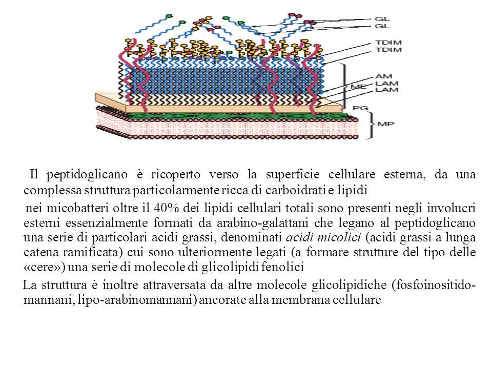 CEMOVIS Cryo-electron microscopy of vitreous section Molti componenti della parete cellulare presentano attività biologica È noto che componenti non proteiche della parete cellulare di M.tuberculosis intervengono nel meccanismo di patogenicità un ruolo importante viene svolto dagli acidi micolici che sono delle complesse strutture molecolari di acidi grassi a lunga catena Gli acidi micolici più semplici sono costituiti da due catene, una lunga fino a 60 atomi di carbonio (distale) e una più corta (prossimale) Esistono cinque tipi di acidi micolici