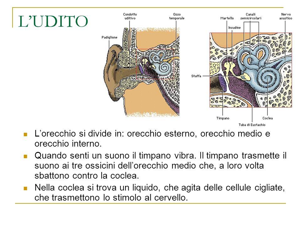 LUDITO Lorecchio si divide in: orecchio esterno, orecchio medio e orecchio interno. Quando senti un suono il timpano vibra. Il timpano trasmette il su