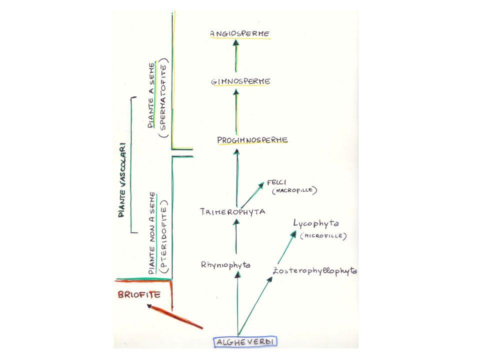 I TESSUTI sorti come mezzo per affermarsi in ambiente subaereo Funzioni germoglio diverse Funzioni radici Germoglio (apparato epigeo) Radice (apparato ipogeo) H 2 O + Sali minerali CO 2 + O 2 Luce Tessuti che li costituiranno avranno caratteristiche legate alla funzione Nelle piante vascolari: (fotosintesi) (assorbimento e ancoraggio)