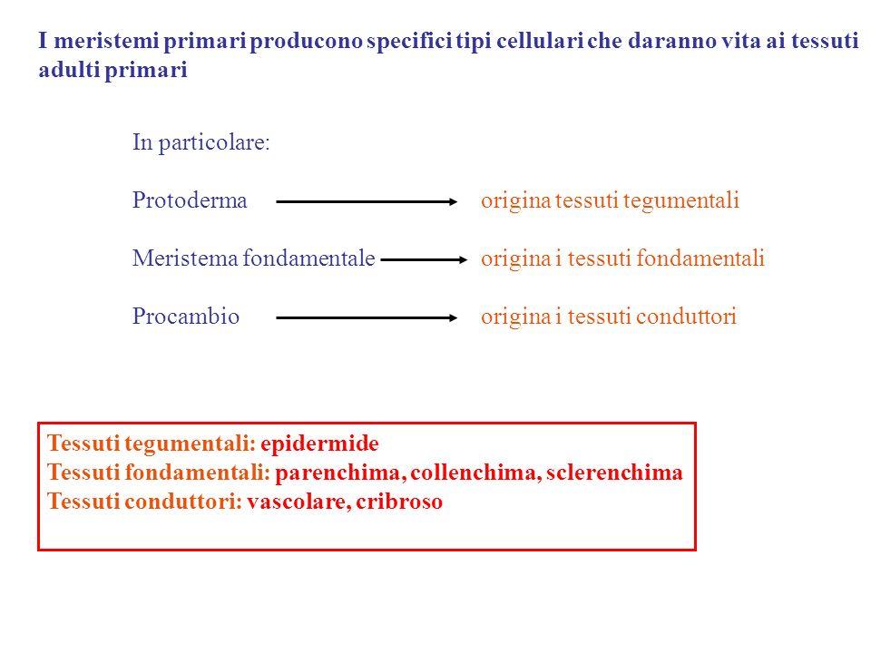 I meristemi primari producono specifici tipi cellulari che daranno vita ai tessuti adulti primari In particolare: Protoderma origina tessuti tegumentali Meristema fondamentale origina i tessuti fondamentali Procambio origina i tessuti conduttori Tessuti tegumentali: epidermide Tessuti fondamentali: parenchima, collenchima, sclerenchima Tessuti conduttori: vascolare, cribroso