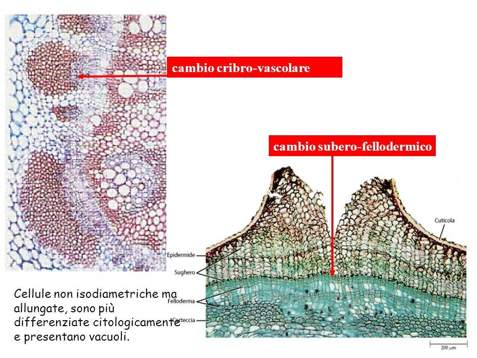 cambio cribro-vascolare cambio subero-fellodermico Cellule non isodiametriche ma allungate, sono più differenziate citologicamente e presentano vacuoli.