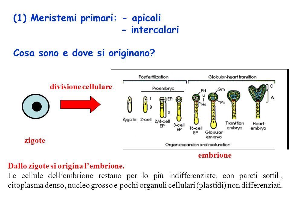 (1) Meristemi primari: - apicali - intercalari Cosa sono e dove si originano.