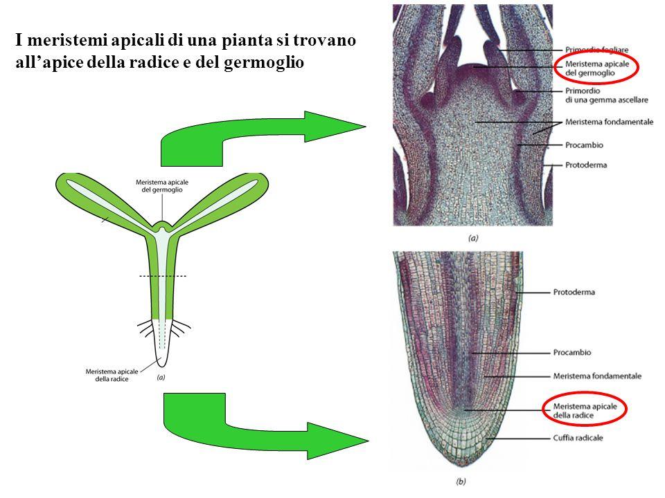 I meristemi apicali di una pianta si trovano allapice della radice e del germoglio
