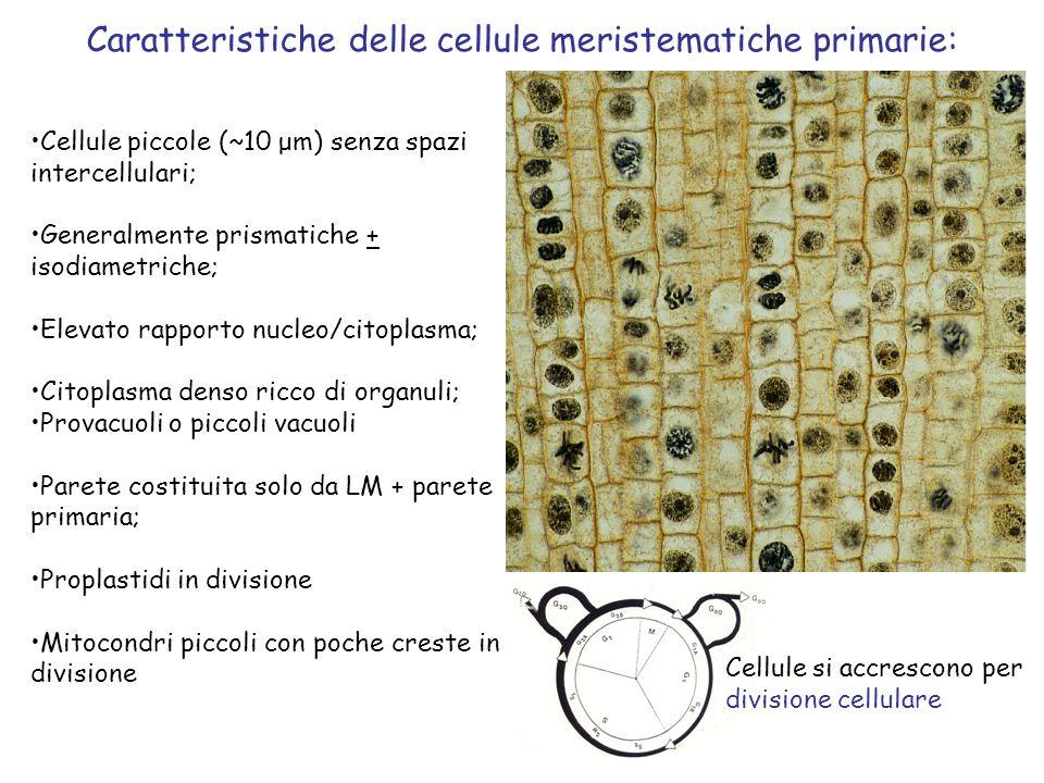 Caratteristiche delle cellule meristematiche primarie: Cellule piccole (~10 μm) senza spazi intercellulari; Generalmente prismatiche + isodiametriche; Elevato rapporto nucleo/citoplasma; Citoplasma denso ricco di organuli; Provacuoli o piccoli vacuoli Parete costituita solo da LM + parete primaria; Proplastidi in divisione Mitocondri piccoli con poche creste in divisione Cellule si accrescono per divisione cellulare
