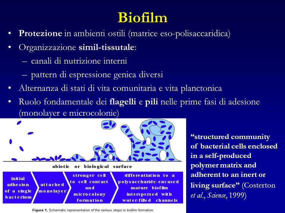 Biofilm Protezione in ambienti ostili (matrice eso-polisaccaridica) Organizzazione simil-tissutale: –canali di nutrizione interni –pattern di espressi