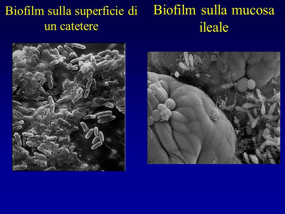 Biofilm sulla superficie di un catetere Biofilm sulla mucosa ileale