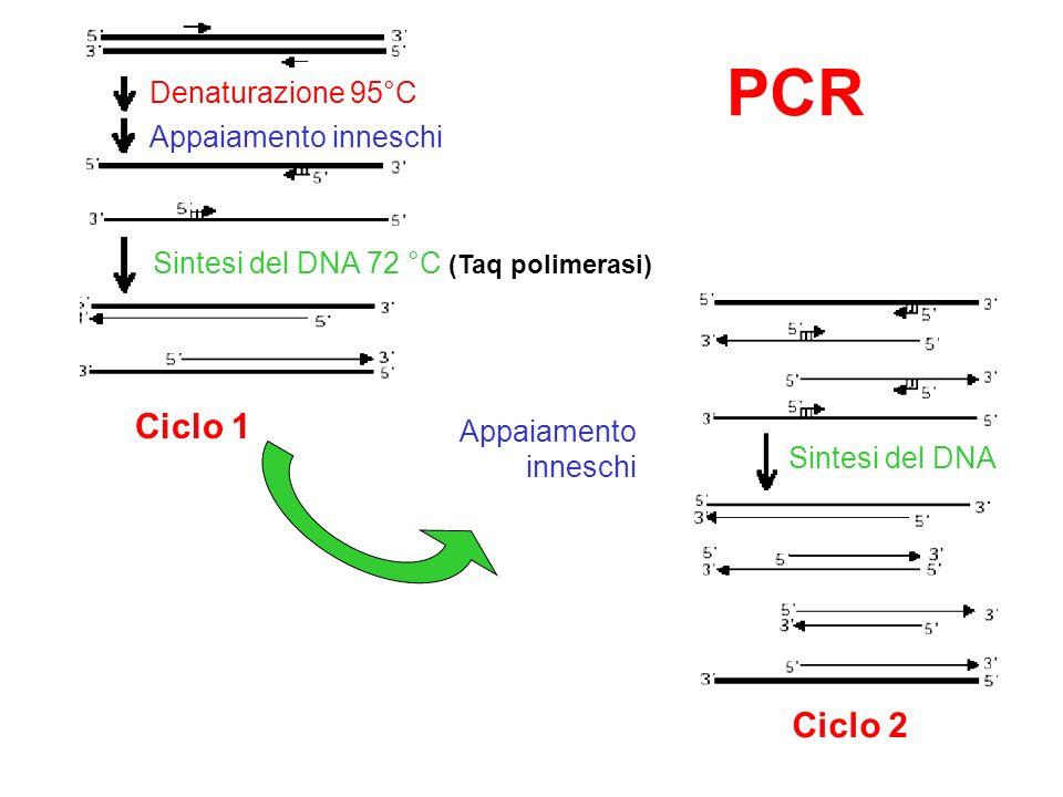 Denaturazione 95°C Appaiamento inneschi Sintesi del DNA 72 °C (Taq polimerasi) Ciclo 1 Appaiamento inneschi Ciclo 2 Sintesi del DNA PCR
