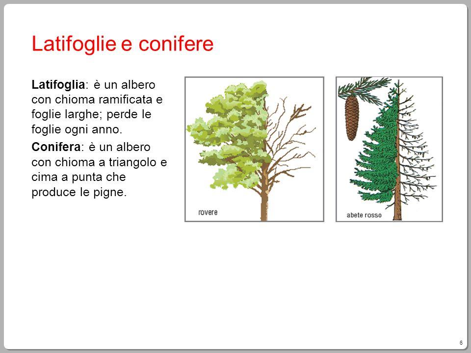 6 Latifoglie e conifere Latifoglia: è un albero con chioma ramificata e foglie larghe; perde le foglie ogni anno. Conifera: è un albero con chioma a t