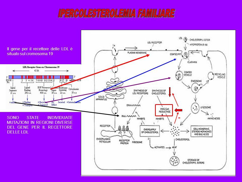 SONO STATE INDIVIDUATE MUTAZIONI IN REGIONI DIVERSE DEL GENE PER IL RECETTORE DELLE LDL Il gene per il recettore delle LDL è situato sul cromosoma 19