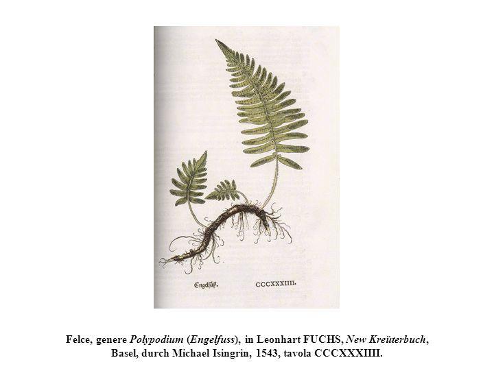 Felce, genere Polypodium (Engelfuss), in Leonhart FUCHS, New Kreüterbuch, Basel, durch Michael Isingrin, 1543, tavola CCCXXXIIII.