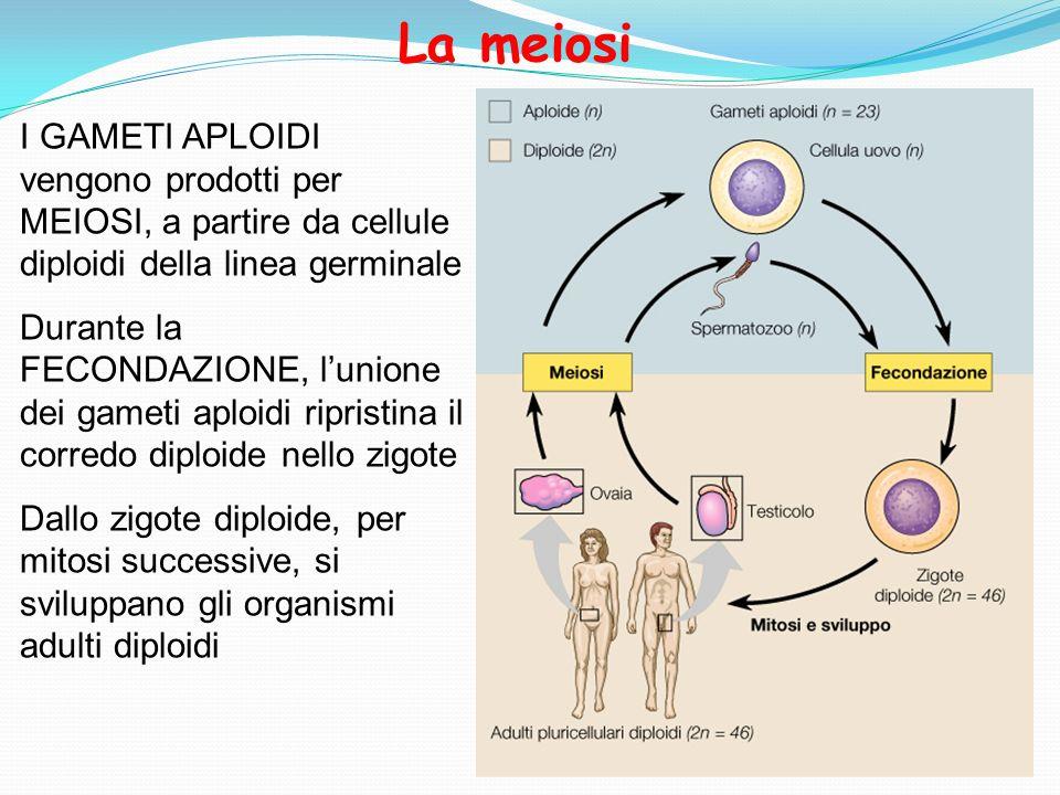 I GAMETI APLOIDI vengono prodotti per MEIOSI, a partire da cellule diploidi della linea germinale Durante la FECONDAZIONE, lunione dei gameti aploidi
