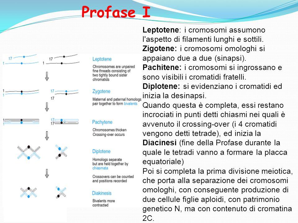 Leptotene: i cromosomi assumono l'aspetto di filamenti lunghi e sottili. Zigotene: i cromosomi omologhi si appaiano due a due (sinapsi). Pachitene: i