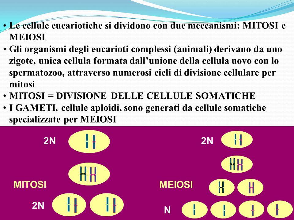 Le cellule eucariotiche si dividono con due meccanismi: MITOSI e MEIOSI Gli organismi degli eucarioti complessi (animali) derivano da uno zigote, unic