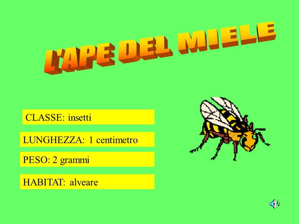 CLASSE: insetti LUNGHEZZA: 1 centimetro PESO: 2 grammi HABITAT: alveare