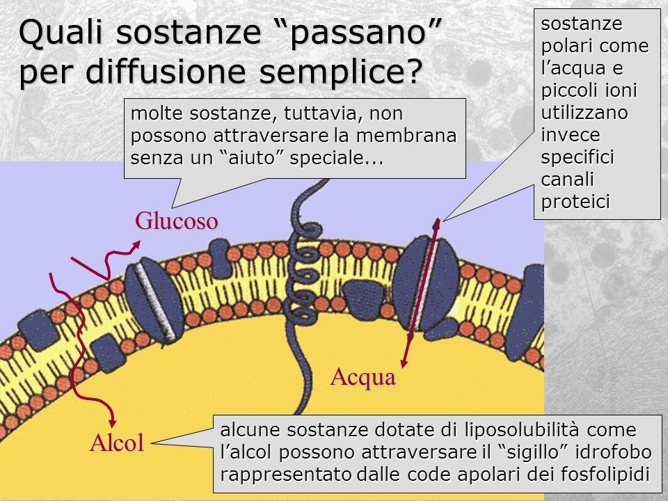 Quali sostanze passano per diffusione semplice? Citoplasma Alcol Glucoso Acqua sostanze polari come lacqua e piccoli ioni utilizzano invece specifici
