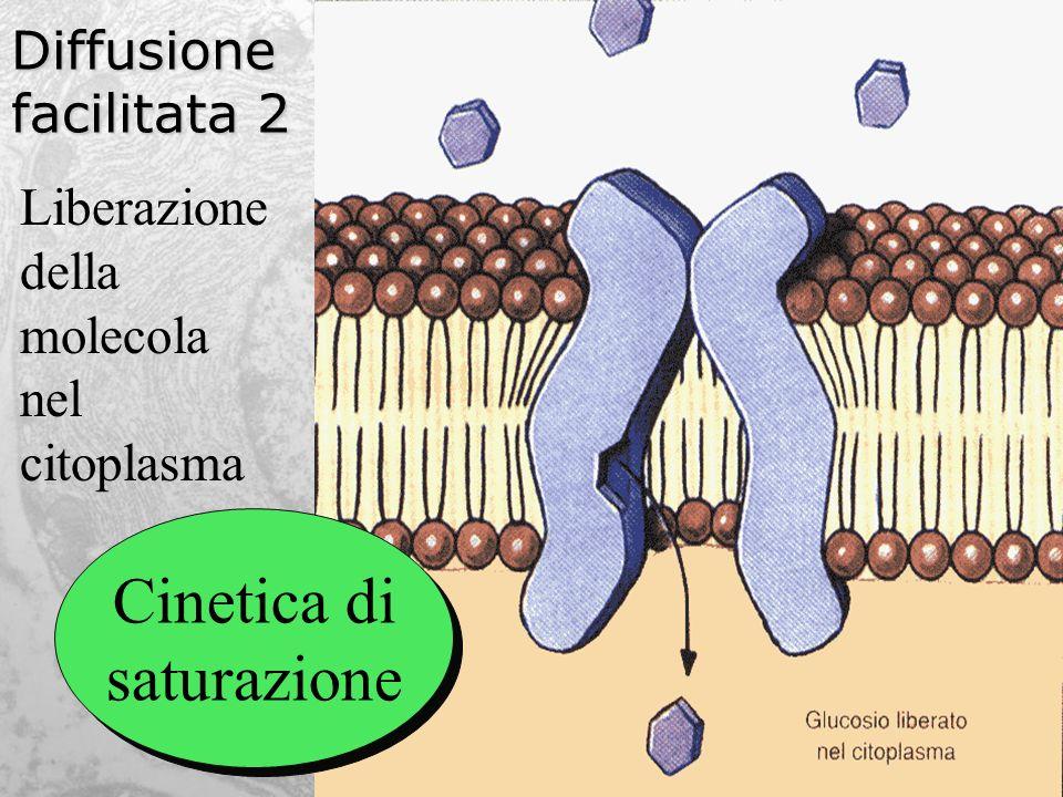 Diffusione facilitata 2 Liberazione della molecola nel citoplasma Cinetica di saturazione Cinetica di saturazione