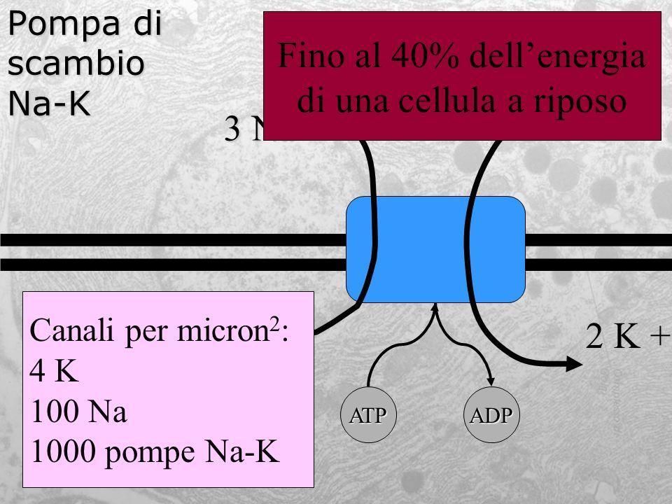 Pompa di scambio Na-K 3 Na + 2 K + ATPADP Canali per micron 2 : 4 K 100 Na 1000 pompe Na-K Fino al 40% dellenergia di una cellula a riposo