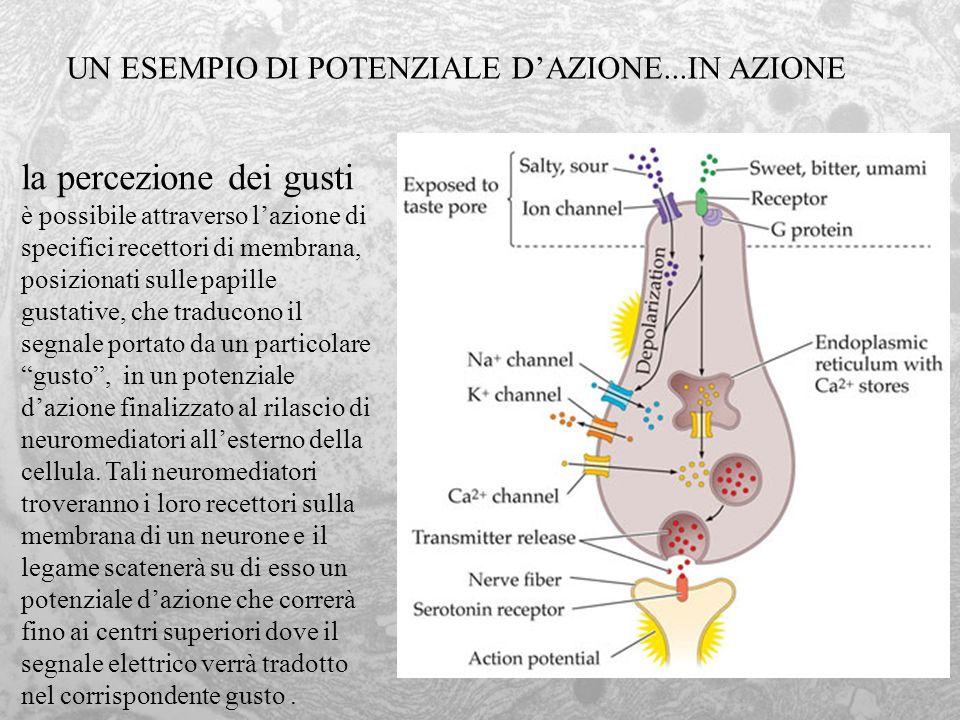 la percezione dei gusti è possibile attraverso lazione di specifici recettori di membrana, posizionati sulle papille gustative, che traducono il segna