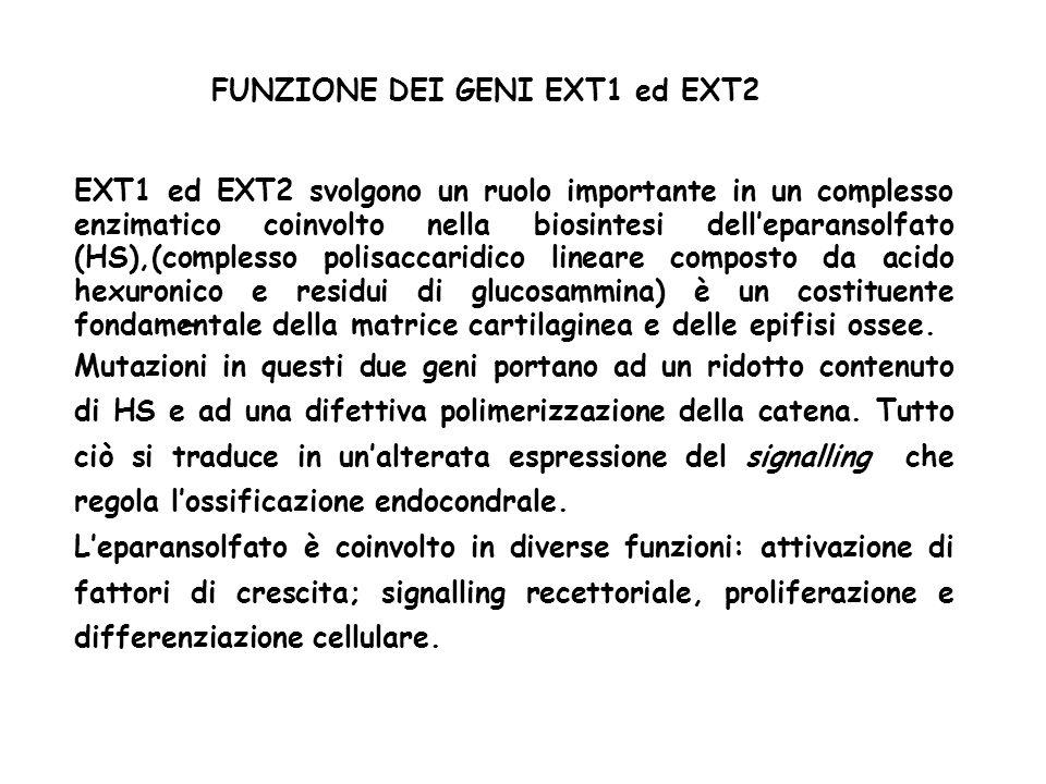 - FUNZIONE DEI GENI EXT1 ed EXT2 EXT1 ed EXT2 svolgono un ruolo importante in un complesso enzimatico coinvolto nella biosintesi delleparansolfato (HS),(complesso polisaccaridico lineare composto da acido hexuronico e residui di glucosammina) è un costituente fondamentale della matrice cartilaginea e delle epifisi ossee.