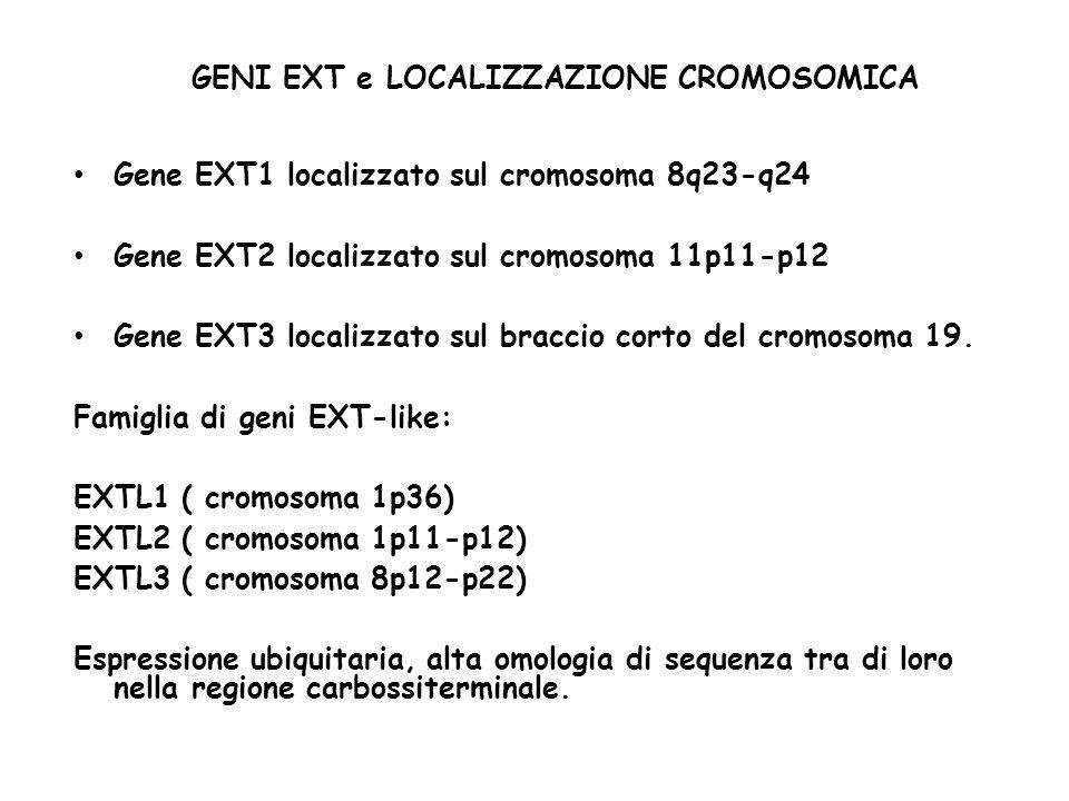 GENI EXT e LOCALIZZAZIONE CROMOSOMICA Gene EXT1 localizzato sul cromosoma 8q23-q24 Gene EXT2 localizzato sul cromosoma 11p11-p12 Gene EXT3 localizzato sul braccio corto del cromosoma 19.