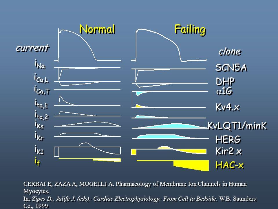 i Na i Ca,L ifif ifif i Ca,T i to,1 i to,2 i Ks i Kr i K1 SCN5A DHP Kir2.x Kv4.x KvLQT1/minK HERG HAC-x Normal Failing current clone 1G CERBAI E, ZAZA