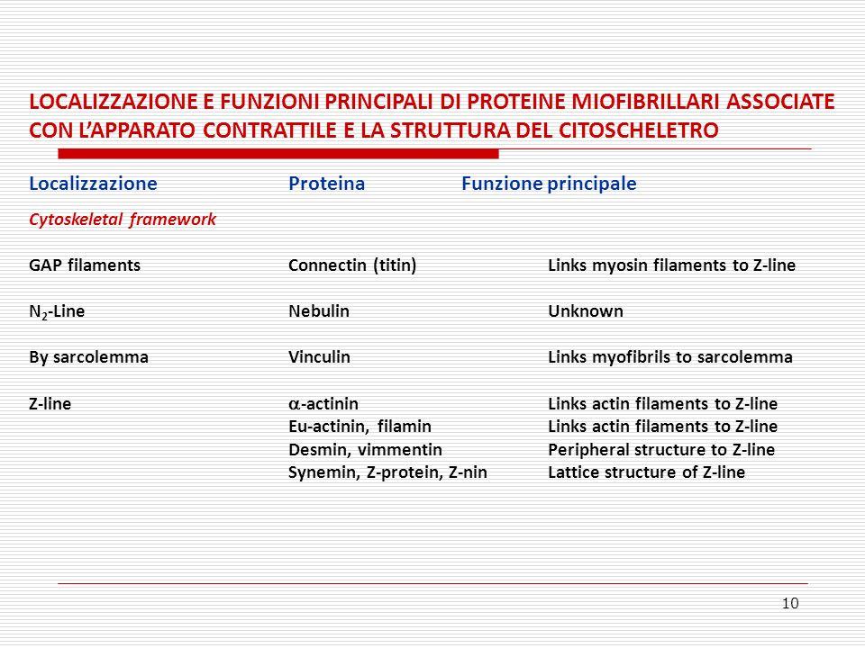 10 LOCALIZZAZIONE E FUNZIONI PRINCIPALI DI PROTEINE MIOFIBRILLARI ASSOCIATE CON LAPPARATO CONTRATTILE E LA STRUTTURA DEL CITOSCHELETRO Localizzazione