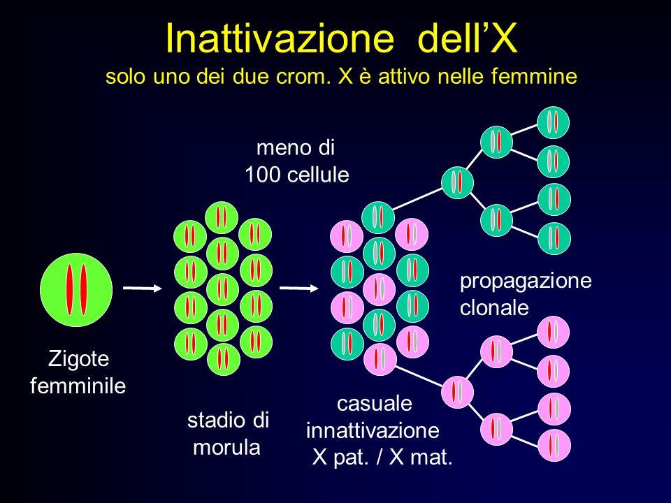 Inattivazione dellX solo uno dei due crom. X è attivo nelle femmine stadio di morula casuale innattivazione X pat. / X mat. propagazione clonale Zigot
