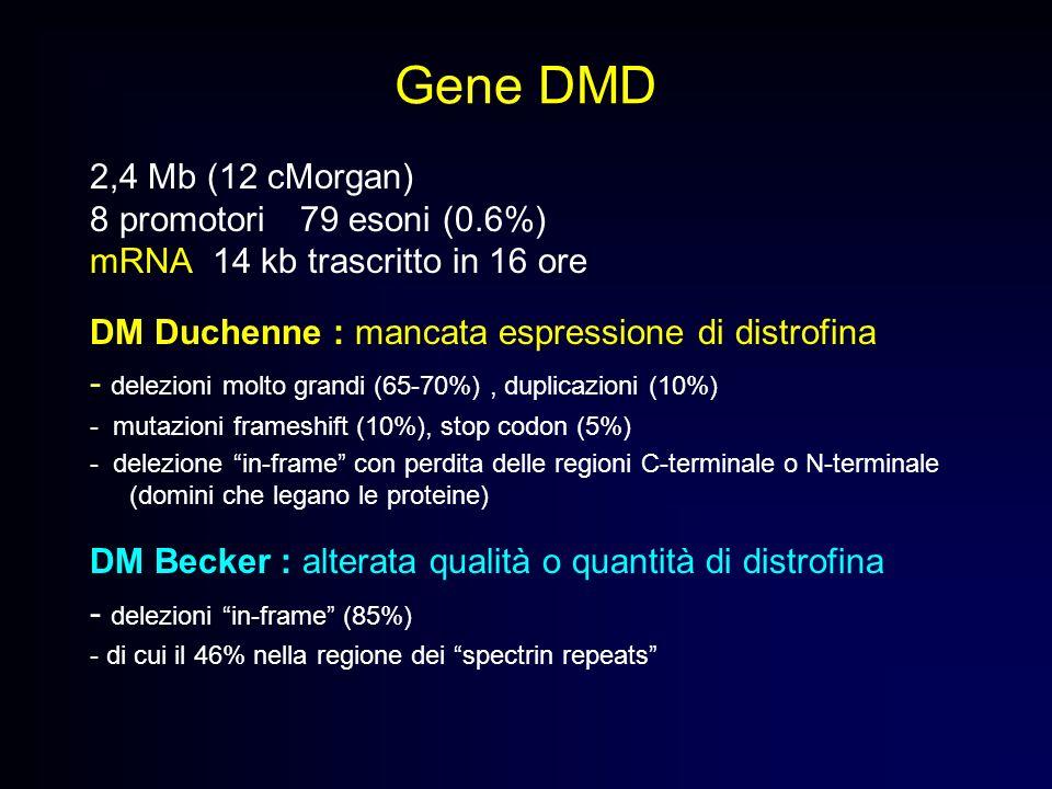 Gene DMD 2,4 Mb (12 cMorgan) 8 promotori79 esoni (0.6%) mRNA 14 kb trascritto in 16 ore DM Duchenne : mancata espressione di distrofina - delezioni mo